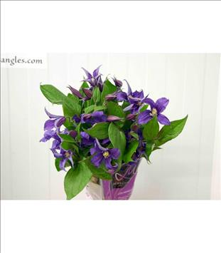 CLEMATIS IMPORT AZUL / LILA