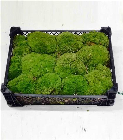 Verde MUSGO BOLA IMPORT