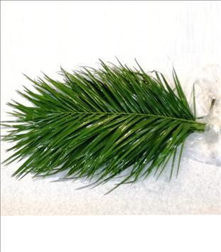 Verde PHOENIX ROBELLINI 60 CM