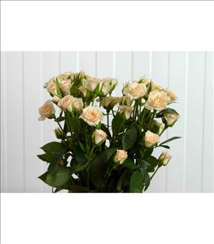 ROSAS SPRAY GRACIA CREMA 60 IMP.