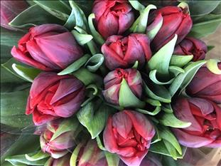 TULIPA IMPORTACION  ROJO RED PRINCES DOBLE