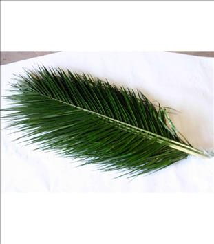 Verde PHOENIX ROBELLINI 90 CM
