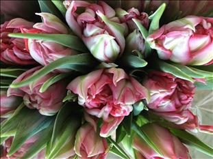 TULIPA.ROSA DU FLASH POINT IMPORTACION HOLANDA