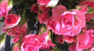 ROSAS SPRAY FUCSIA LOVELY LYDIA 60 IMP.