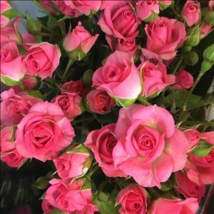 ROSAS SPRAY FUCSIA LOVELY LYDIA 70/80 IMP.