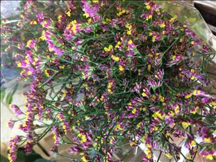 LIMONIUM FUCSIA CHINA RED IMPORTACION HOLANDA