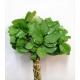 Verde SALAL TIPS IMPORTACION PEQ.
