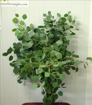 Verde EUCALIPTO POPULUS