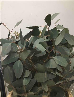 Verde EUCALIPTO POPULUS GRAINE GRIS IMP.