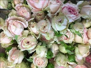ROSES SPRAY CANDY FLOW ROSA CLARO 70 IMP.