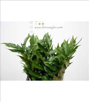 Verde CIRTONIUM