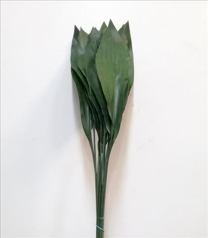Verde ASPIDISTRA 80 CM