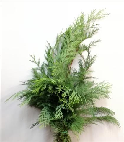 Verde CONIFERA THUYA VERDE
