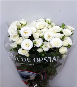 ROSAS SPRAY WHITE LADY 70 BLANCA IMPORT HOLANDA