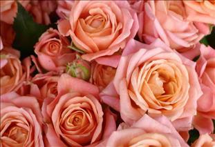 ROSAS SPRAY ROSA BRIDAL BUBBLES