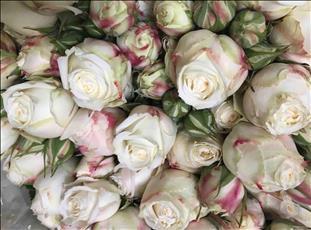 ROSAS SPRAY WHITE BUBBLES  50/60 BLANCA IMP