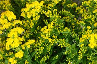 SOLIDAGO 80 GOLDEN GLORY IMPORTACION HOLANDA EXT.