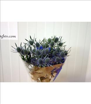 ERYNGIUM BLUE DYNAMITE AZUL 50 /60 IMP.